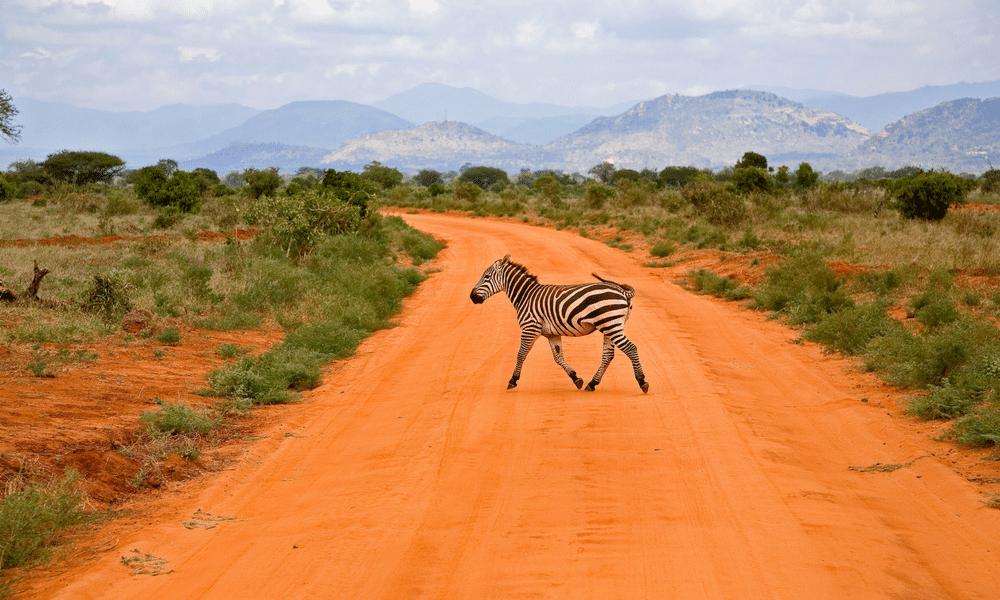 Kenya Wildlife Marathon Zebra